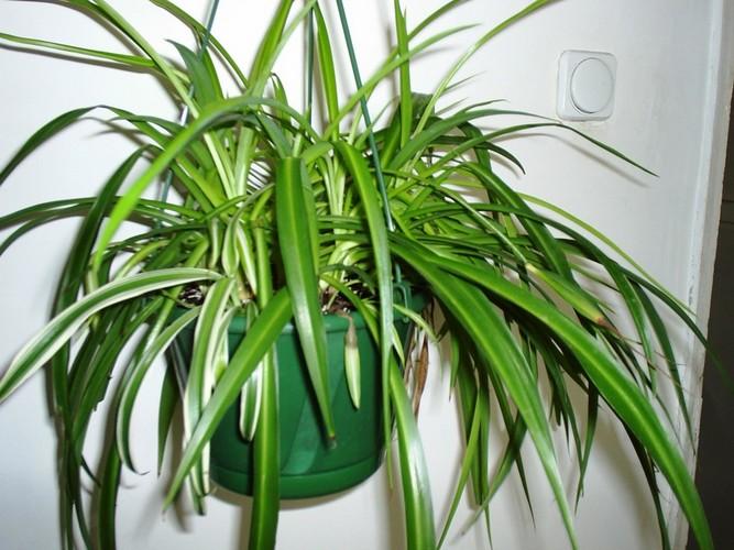 Хлорофитум: чернеют кончики листьев