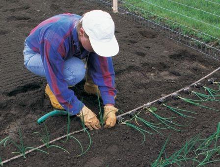 Высажиание рассады лука