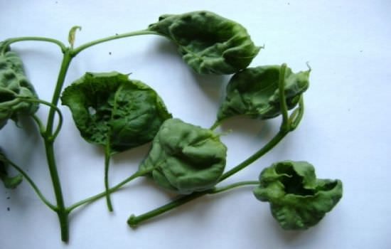Выращивание сирени на даче: болезни и вредители, способы избавления