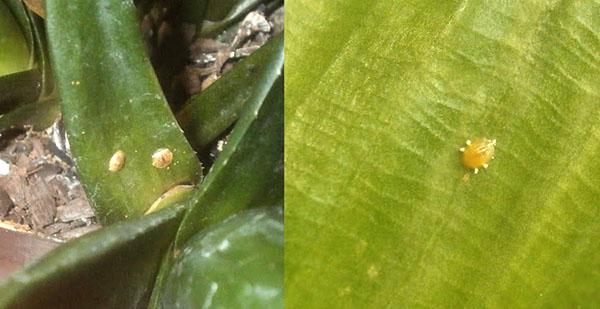Щитовка на растении