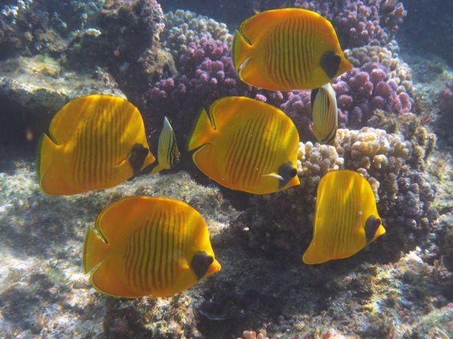 16. Масковая рыба-бабочка животный мир, море, природа, путешествия, рыбки