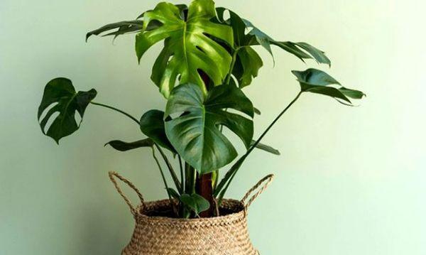 Монстера - популярное комнатное растение