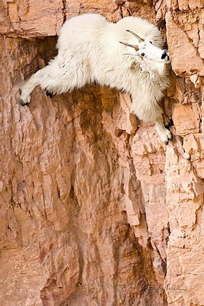 горные козлы бесстрашные животные (4)