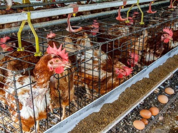 Курицы с мышьяком.