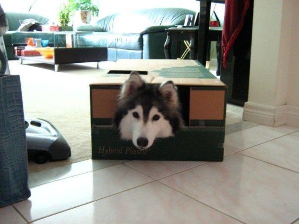 Xаски, воспитанный кошками история, кошка и собака