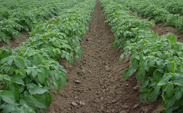 Как вырастить картофель без фитофторы Сад и огород,Болезни и вредители