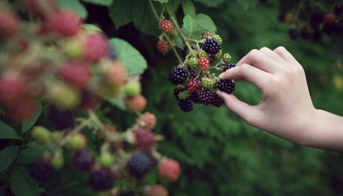 Самые полезные ягоды: ежевика
