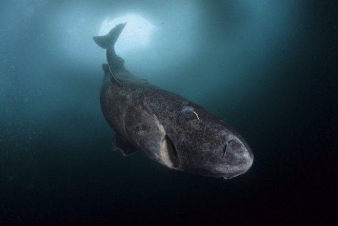 Гренландская акула самое долгоживущее животное на планете