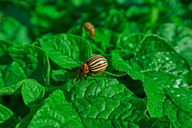 Кола против колорадского жука