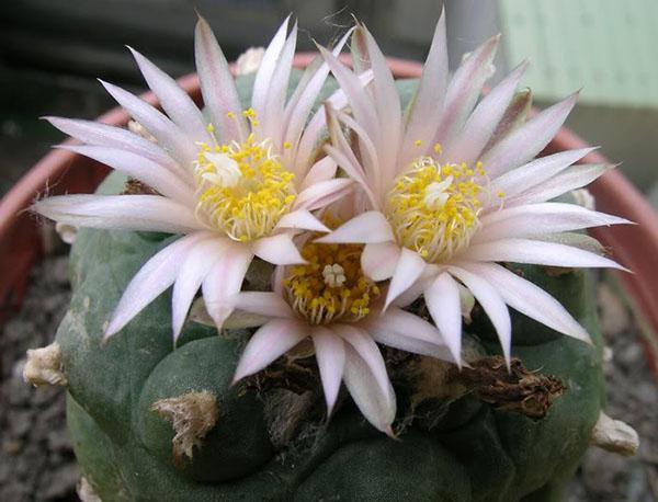 цветет кактус пейот