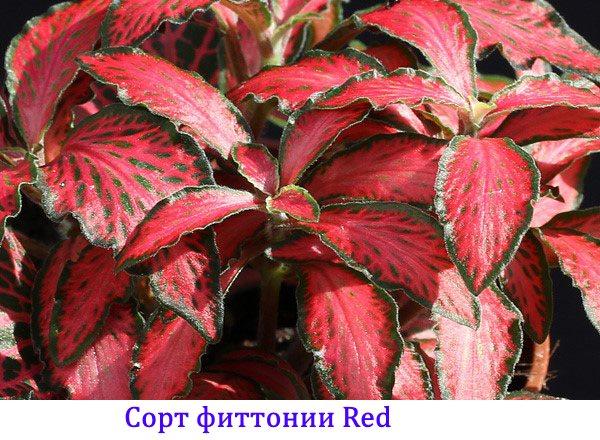 Сорт фиттонии Red