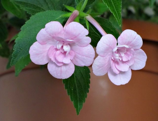 """Сорт """"Double Pink Rose"""" с нежно-розовым оттенком"""