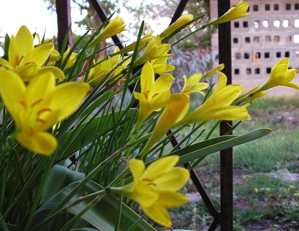 Цветет зефирантес