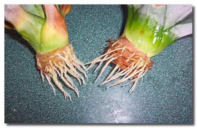 Корни ананаса
