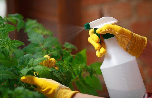 Обработка рассады инсектицидами поможет в борьбе с вредителями