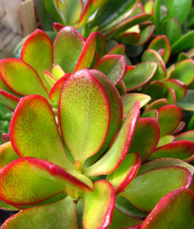 Толстянка Овальная с красной окантовкой листьев
