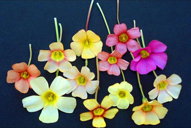 Цветки кислицы разных видов