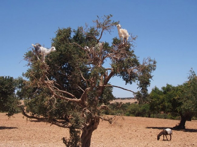 горные козлы бесстрашные животные (20)