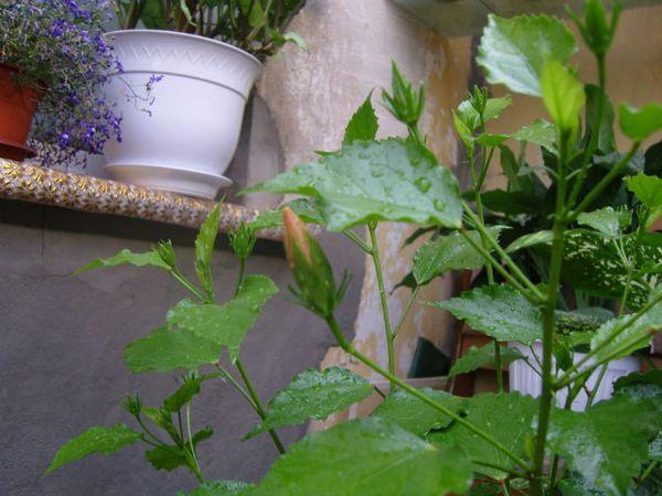 Гибискус при неправильно уходе перестанет цвести
