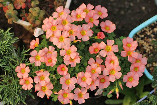 Oxalis obtusa сорта Comosa Pink