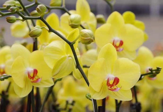 Чтобы орхидеи хорошо развивались и радовали своим цветением, им требуется правильный уход