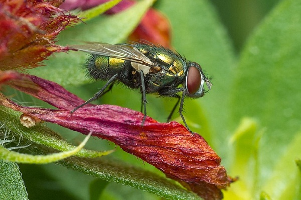 К чему снится муха? Сонник - муха. Что значит видеть муху во сне?