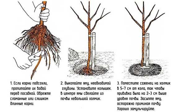 технология посадки яблони