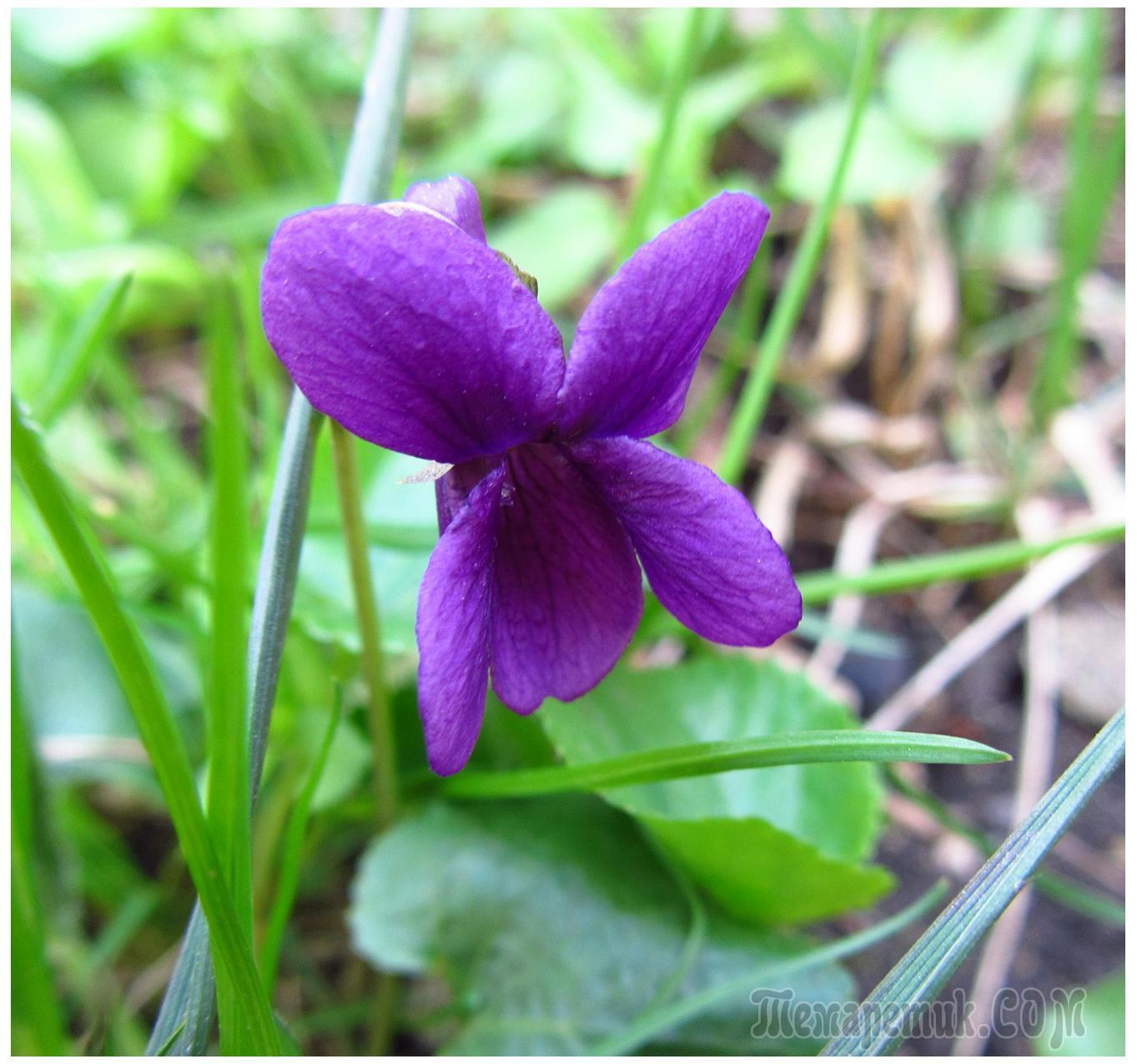 цветет азалия фото