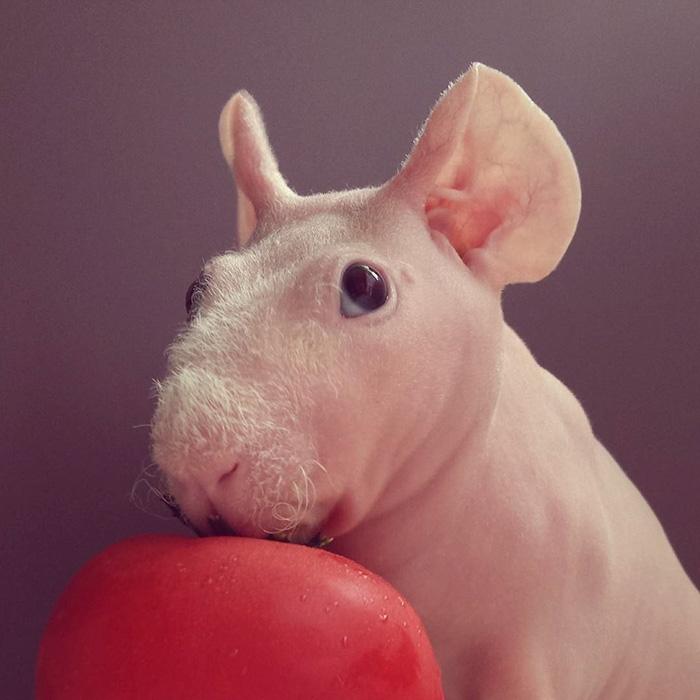 Людвиг морская свинка, лысая морская свинка