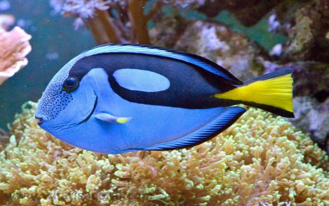 15. Синий царственный тан или рыба-хирург животный мир, море, природа, путешествия, рыбки