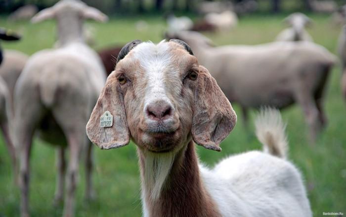 Секс у козы