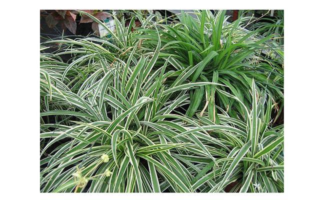 Самые полезные комнатные растения: Одним из самых полезных комнатных растений является хлорофитум (Chlorophytum). Для очищения воздуха в комнате площадью около 20 квадратных метров достаточно