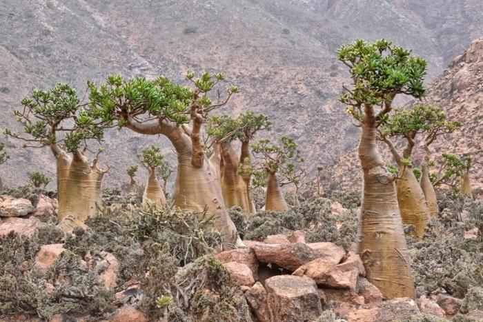 Внешне эти растения напоминают миниатюрные баобабы.