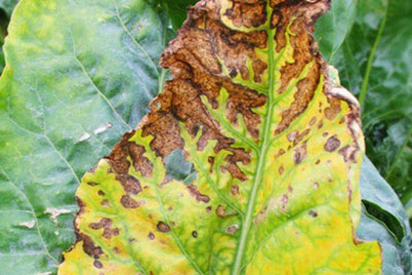 При желтухе листья цветочков приобретают желтый цвет