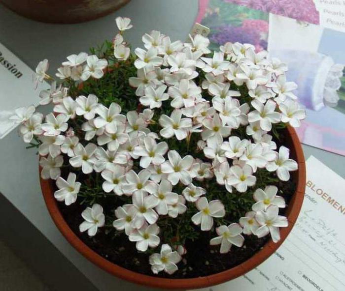 оксалис versicolor версиколор