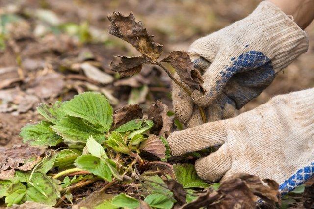 Садовник удаляет листья у клубники