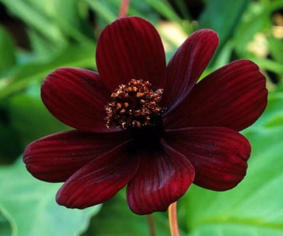 Цветок космос шоколадный