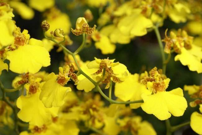 Длительность цветения «Бородавчатого сорта Онцидиум» не превышает двух месяцев и приходится на август