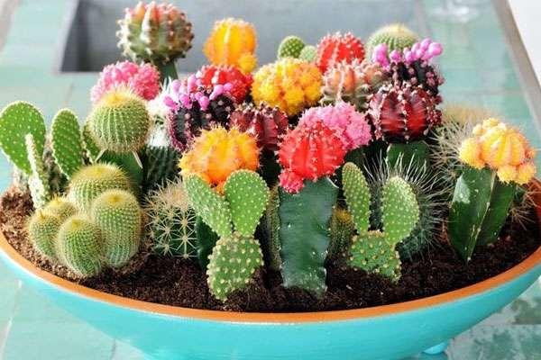 Подкормка и удобрение кактусов
