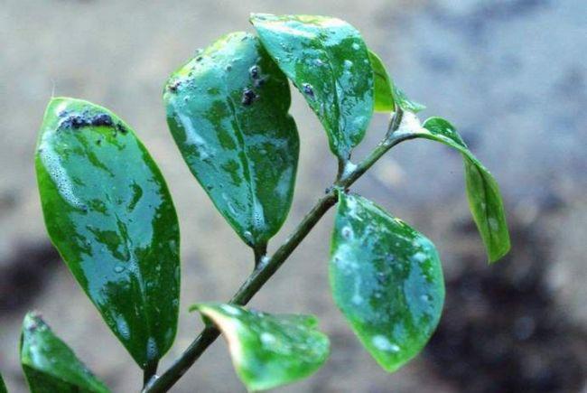 Замиокулькас плачет при плохом обращении, включая травмированные листья, избыточное внесение удобрений и чрезмерные оросительные мероприятия