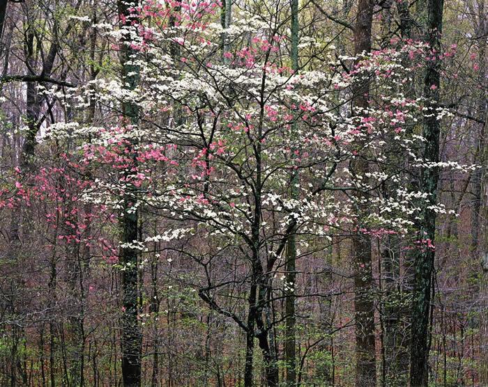 Розовый и белый кизил, Кентукки, 1991 год. Автор: Christopher Burkett.