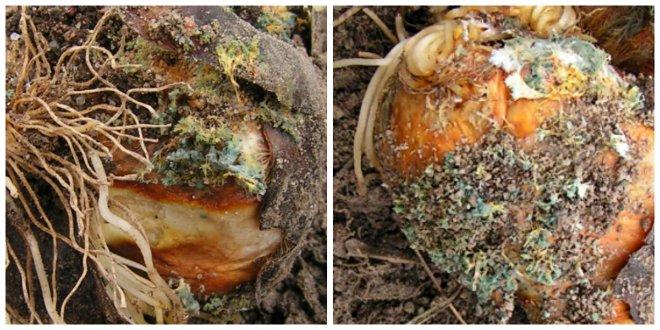 пенициллез луковичных