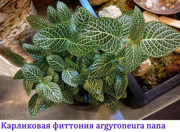 Карликовая фиттония argyroneura Nana