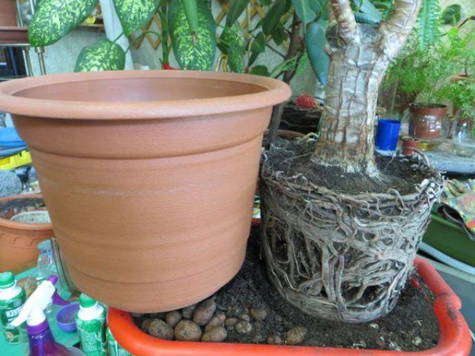 Молодые комнатные растения требуется пересаживать ежегодно, в ранний весенний период, постепенно увеличивая размеры цветочного горшка
