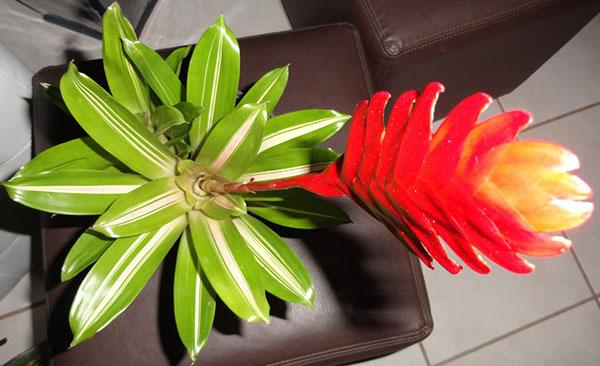 цветет вриезия