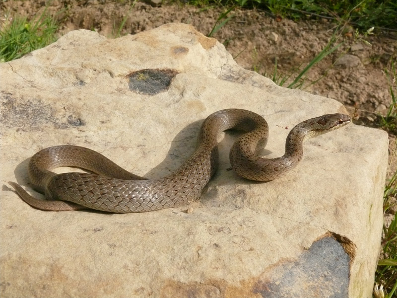 медянка змея фото и описание