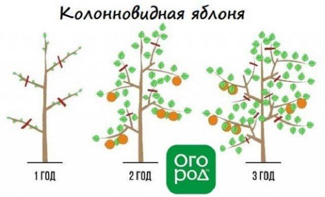 Схема обрезки колонновидной яблони