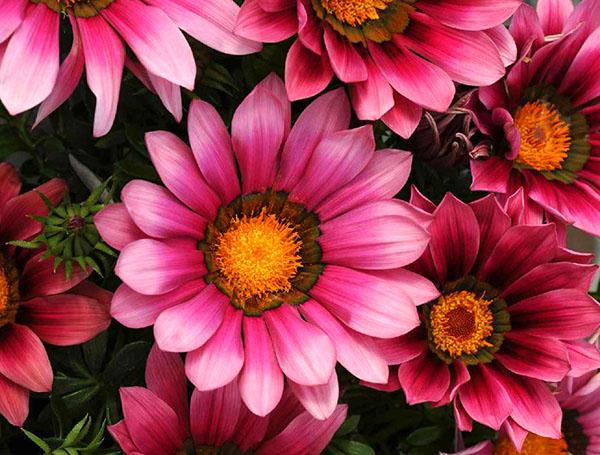 розовые цветы газании