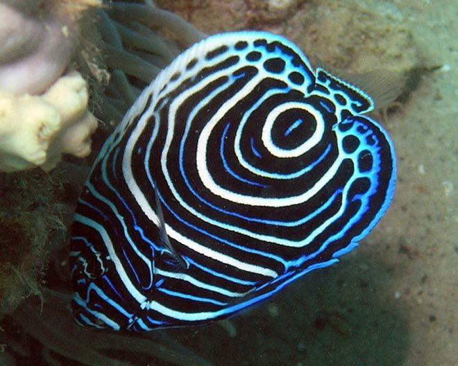 8. Императорская рыба-ангел животный мир, море, природа, путешествия, рыбки