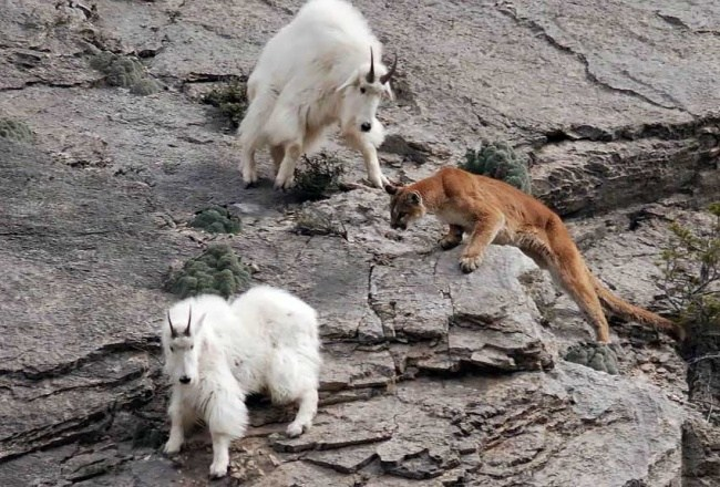 горные козлы бесстрашные животные (17)